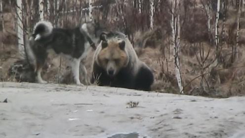 棕熊闯入一只狗的领地,狗狗冲过去,竟把熊给吓跑了?