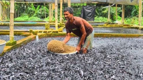 """印度大叔养鱼也""""开挂"""",上万条鱼丢进一个池塘,竟还能年入百万!"""
