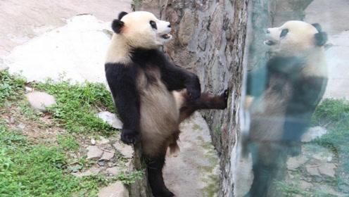 熊猫意外走红网络,网友:兄弟,把皮套脱了吧,太假了!