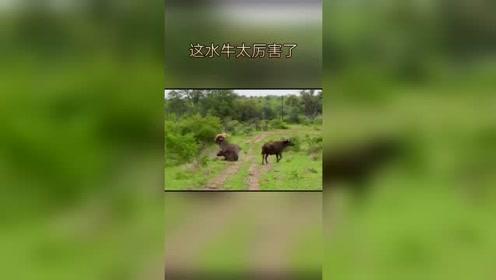 大水牛为救同伴,把狮子都顶飞了!