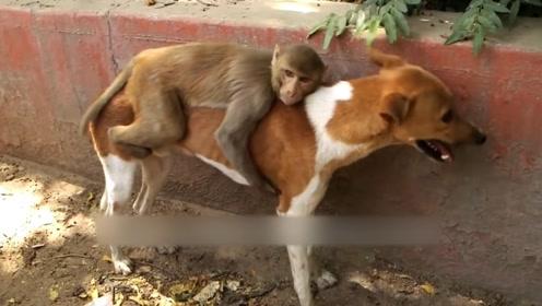 狗妈妈捡到一只被抛弃的猴子,将它抚养长大,网友:母爱超越物种
