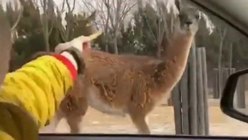 司机在路上诱惑长颈鹿,没想到这家伙自己找上来了,你这还挺大胆!