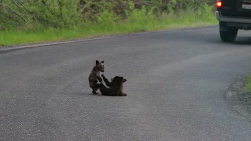 两只毛还没长齐的小熊在路上打闹!这才是真的熊孩子
