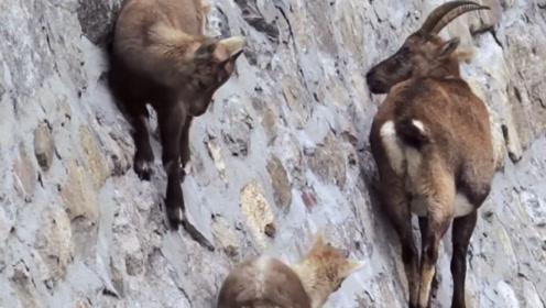世界上最神奇的山羊:一生几乎都生活在峭壁上,网友:学不来!