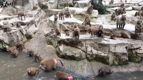 都知道猴子很讨厌,国外小哥挑衅猴子,可是出了一口恶气!