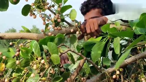 巴基斯坦农村的一种野果,爬到树上吃个够