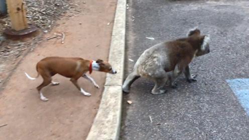 狗狗学考拉走路,下一秒考拉的动作,狗狗都被吓到了!