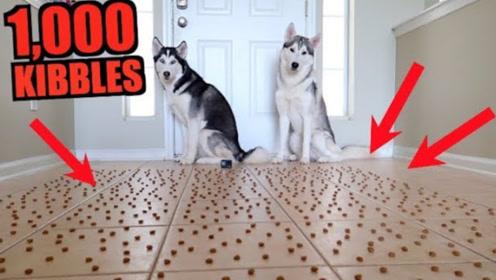 """老哥拿狗做实验,将1000颗狗粮摆地上,二哈表演了什么叫""""推土机"""""""