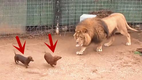 饲养员几天不给狮子喂食,然后放了2条狗进去,之后却尴尬了