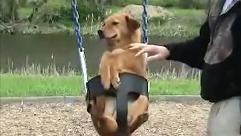狗狗开心地玩着荡秋千,想展示自己的新技能,没想到摔了个狗吃屎