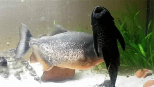 如果把清道夫和食人鱼放在一起,谁才是鱼中之王?镜头记录全过程!