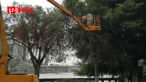 """数百棵行道树遭遇""""光头强"""",部门:修剪过度,已调整并将处罚"""