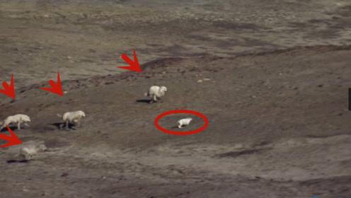 4匹凶狠的野狼追杀1只兔子,被兔子实力碾压,这太尴尬了!