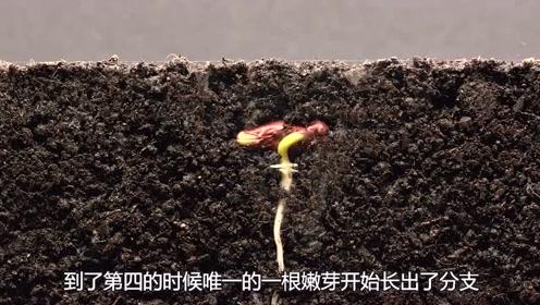 一个植物生根发芽的全过程,真是震撼,感叹生命的伟大?