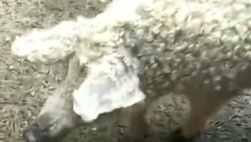 是猪出了轨,还是羊劈了腿,网友:这样的猪肉价格肯定很高!