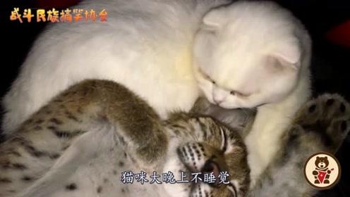 暖心!猞猁把猫咪当成妈妈了,生病了就往猫咪怀里躺
