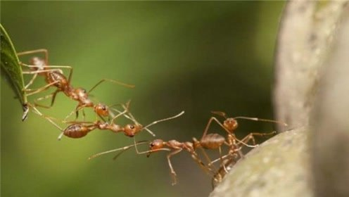 蚂蚁是怎样处理同伴的尸体的?没想到,它们的方法会如此的神奇!