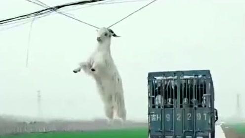 不知大货车司机怎么开的,居然把羊给挂到了电线上,真是好无语啊!