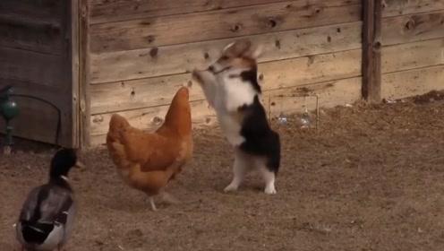柯基调戏老母鸡,下一秒请憋住别笑,网友:怂到了一种境界