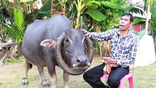 国外一头牛奇怪了,牛角长成一个圈,主人称10万美金不卖