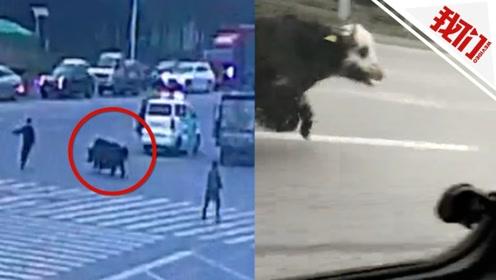 实拍:牦牛市区狂奔吓得车辆行人躲闪 不时用牛角冲撞紧随其后警车场面惊险