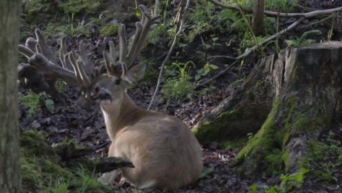 一只雄鹿为躲避采集鹿茸,5年时间鹿角只长不脱,头快被压垮了