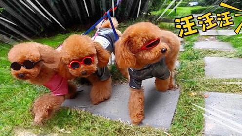 三只小泰迪戴着墨镜在街头装大佬,结果被一声狗叫吓得拔腿就跑!