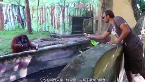 现在的猩猩都这么嚣张了吗,居然伸手向小伙要食物,不给就生气