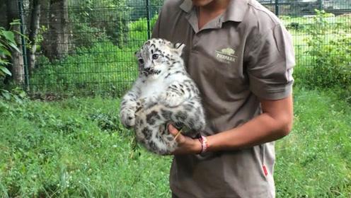 """雪豹宝宝被抓住后颈,瞬间自闭成球体:我可能已经""""废豹""""了!"""
