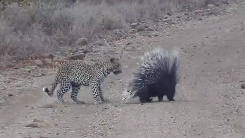 花豹欲捕食豪猪,却始终找不到突破口,看着挺让人焦急的