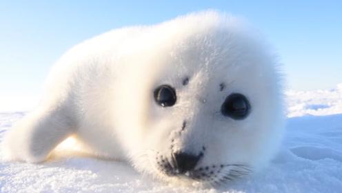 小海豹睡觉不小心被冲上岸,水灵灵的大眼透漏着迷茫,太可爱了!