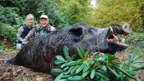 美国的野猪泛滥,导致每年损失15亿美元,当地人为何不捉来吃?