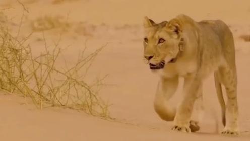 雌狮带着小狮子在沙漠流浪,好不容易找到食物,却又被赶走了