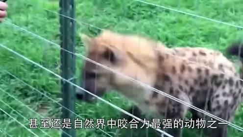 鬣狗为什么这么爱掏肛,只因本性残暴,原因让人意想不到!