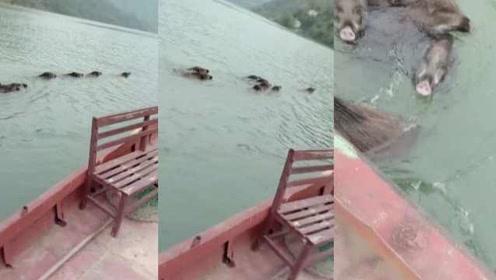 """超罕见!8只野猪横跨汉江,村民开船""""保驾护航"""""""