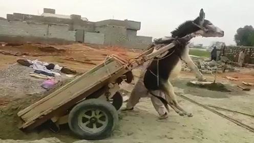 这卸货的方法,原谅我笑出了声,驴:下次再这样,老子不干了!
