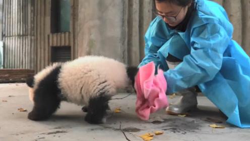 饲养员给洗完澡的熊猫擦身体,擦到一半,小家伙举动简直太萌了