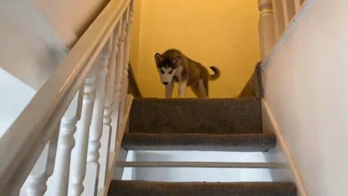 哈士奇走出门,发现楼梯上摆满了狗粮,下一秒忍住别笑!