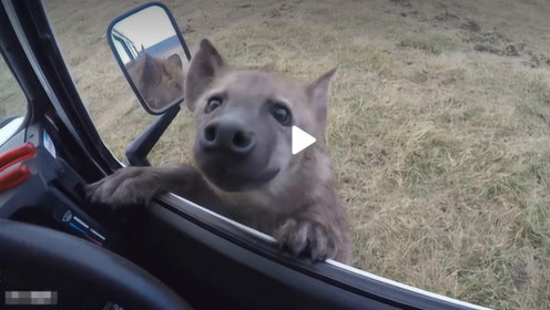 鬣狗楚楚可怜的向人类求助,好心男子刚想下车,意想不到的事情发生了