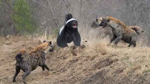 """鬣狗偷袭平头哥,不料平头哥使出""""杀手锏"""",下一秒鬣狗悲剧了"""