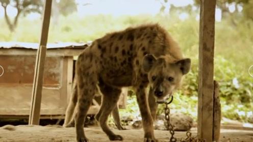 为什么鬣狗那么怕非洲人?看完令人心酸,镜头记录全经过!