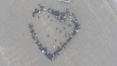 无人机拍下震撼的一幕,一群牛在男子的带动下,形成了一个爱心