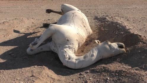 为什么渴死的骆驼千万不能碰?非洲小伙不听劝,险些酿成大祸