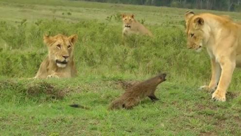 这种动物比平头哥还凶,打得狮子连连后退,镜头记录全过程