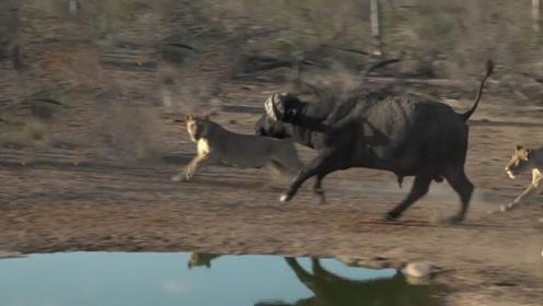 8只狮子围捕2000斤野牛,狮子不要脸跳到野牛背上撕咬,镜头记录全过程