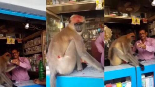 印度猴子打架受伤后,自己到诊所找医生开止痛药