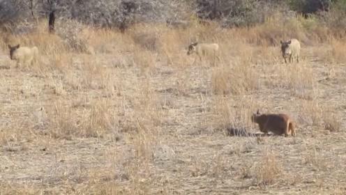 美洲狮捕食疣猪,下一秒让人难以理解,舍近求远?