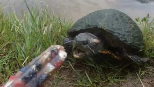 男子给乌龟吃冰棍,一口咬下去后,根本停不下来