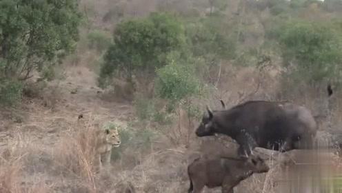 雄狮猎杀水牛崽,奈何单打独斗的狮子战斗力太弱,母牛一牛之力轻松击退狮子