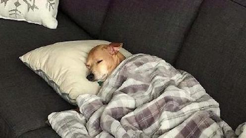 狗子趁主人上班偷偷上床睡觉,谁知主人杀个回马枪,这反应太逗了